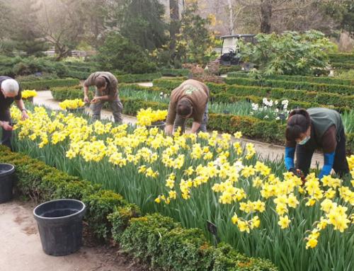Narcisos amarillos para homenajear a las víctimas Covid