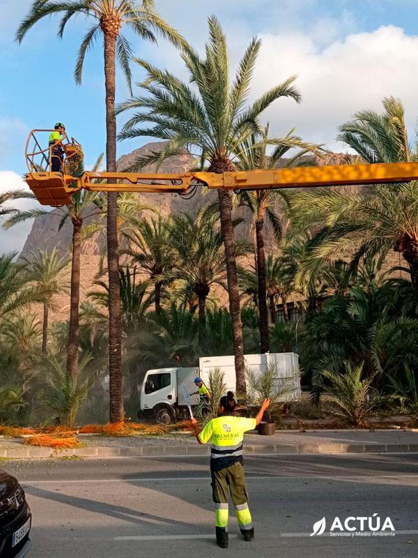 Actúa trabajará en el mantenimiento y protección integral del Palmeral de Orihuela